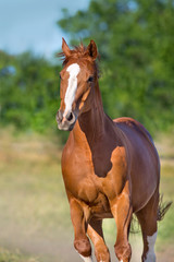 Red mare close up portrait in motion outdoor