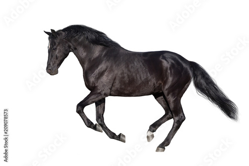Valokuvatapetti Black horse run gallop isolated on white
