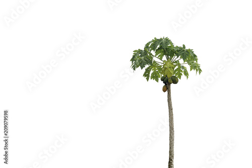 Organic papaya tree on isolated background.
