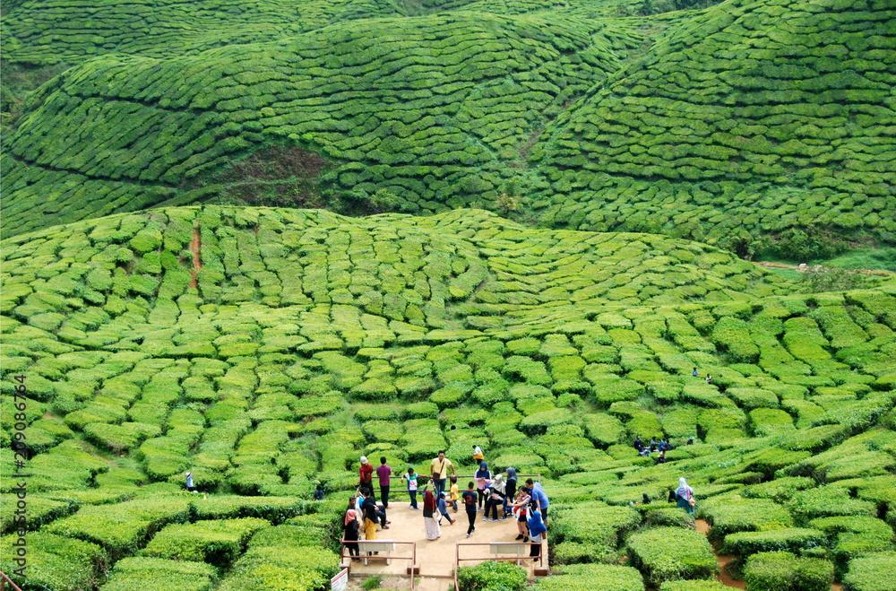 Fototapeta Beautiful tea plantations of Cameron Highlands in Malaysia