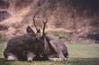 male sambar deer lying on dirt field