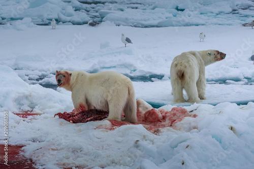 Staande foto Ijsbeer Polar bear of Spitzbergen (Ursus maritimus)