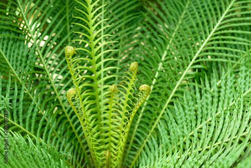 Fern Blechnum Gibbum. Selective focus.
