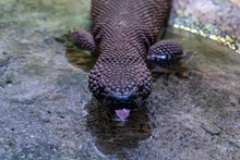 Beaded Lizard Close Up Portrait