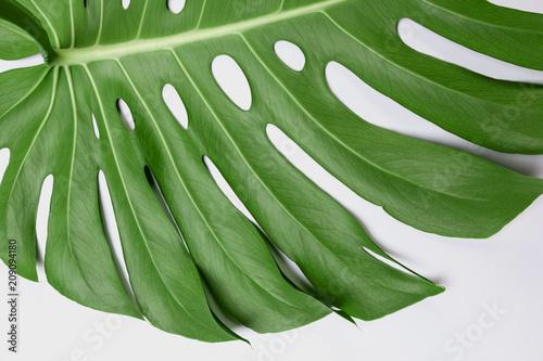 Fototapeta Big green leaf of Monstera plant on white background obraz na płótnie
