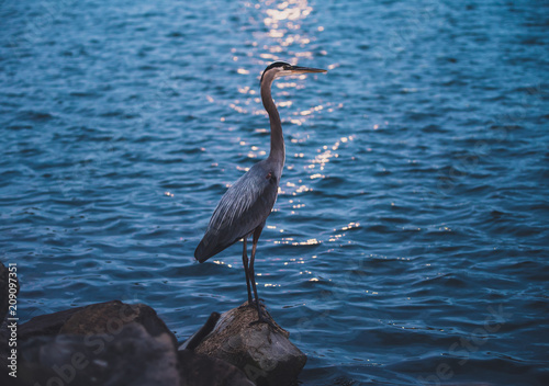 Heron at Sunset Poster
