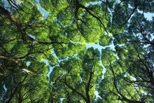 Crack Willow ( Salix Fragilis ...