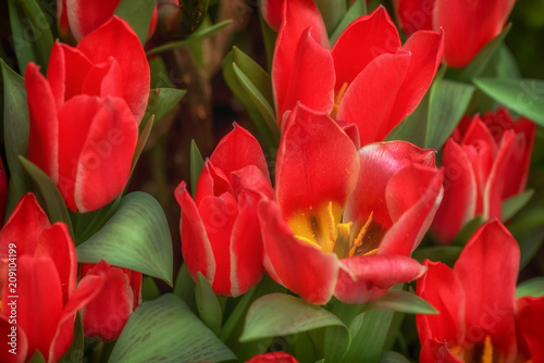 Red Tulip flowers at the Flower Dome Pavillion in Singapore Poster