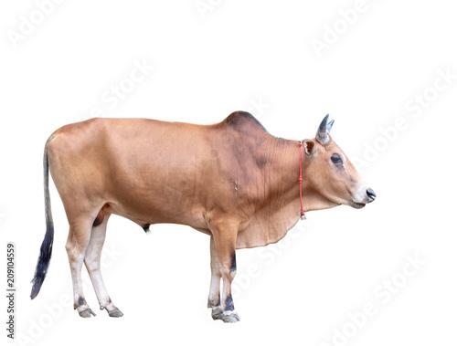 ox animal, male cow Canvas Print