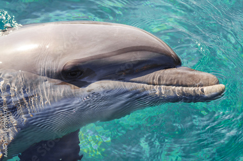 Keuken foto achterwand Dolfijn The yong Bottlenose dolphin is swimming in red sea