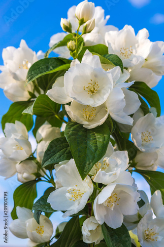 Decorative bush jasmine flowers on a background of blue sky close-up floral fest Canvas Print