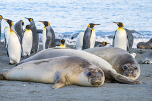 Female Elephant Seals And King...