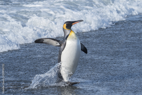 Poster Pinguin King Penguin Exiting the Water, South Georgia Island, Antarctic