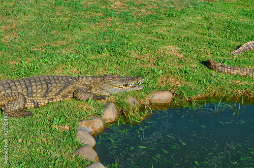 Fotobehang Krokodil alligator, crocodile, on grass next to pond on farm, South Africa