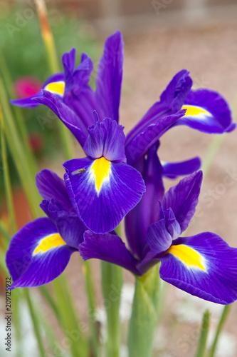 Spoed Foto op Canvas Iris Blue iris with yellow tongue. Iris Flower