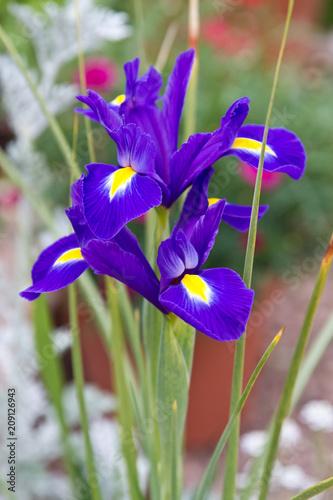 Spoed Foto op Canvas Iris Dutch iris blue magic. Iris Flower