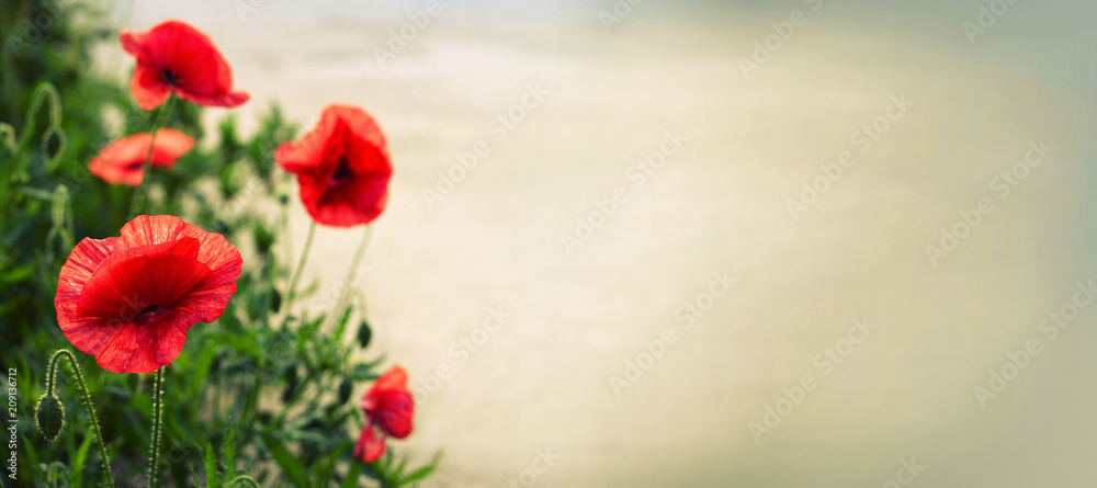 Red poppies with copy space