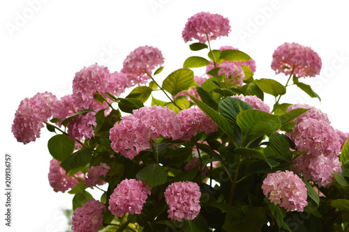 Keuken foto achterwand Hydrangea Hydrangea bush isolated on white background