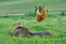 Cat Stalking A Chicken