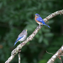 Eastern Bluebird Feeding Its Young On A Mid June Morning In North Carolina
