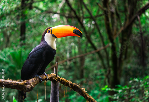 Tuinposter Toekan Toucan tropical bird sitting on a tree branch in natural wildlife environment in rainforest jungle