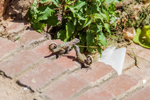 Curly-tailed Lizard (Leiocepha...