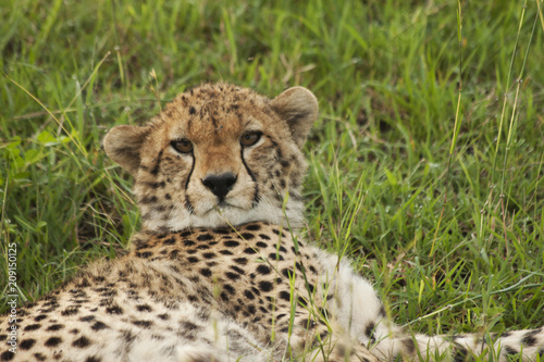Cheetah Cub Laying Poster