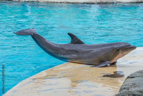Fototapeta Riccione , Włochy - 18 maja 2018: Delfiny w Oltremare Family Experience Park w słoneczny dzień obraz