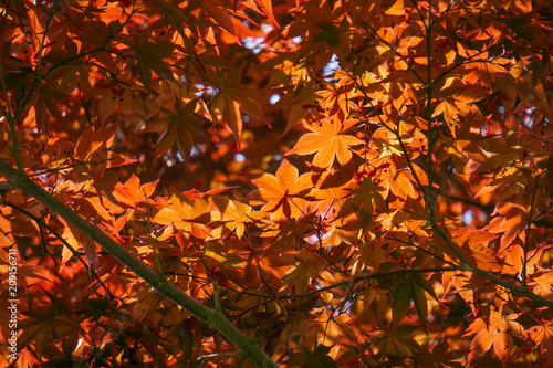 Fotografie, Obraz  Acer palmatum, commonly known as palmate maple, Japanese maple or smooth Japanese-maple, is a species of woody plant native to Japan, China, Korea, eastern Mongolia, and southeast Russia
