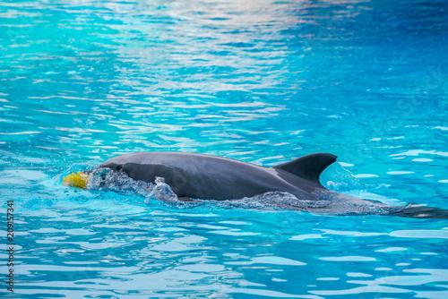 Fototapeta Riccione , Włochy - 18 maja 2018: Delfin w Oltremare Family Experience Park w słoneczny dzień obraz