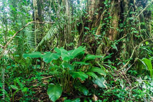 Valokuva  Jungle in Cockscomb Basin Wildlife Sanctuary, Belize.