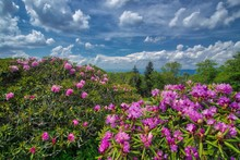Craggy Gardens Rhododendron Bl...