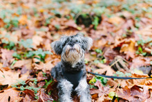 Cute Scrappy Dog Looking Up In Fall Leaves