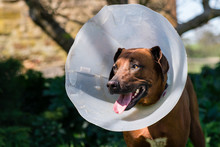 Smiling Dog Wearing Post-op Cone