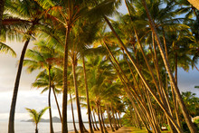 Tall Coconut Trees On Beach