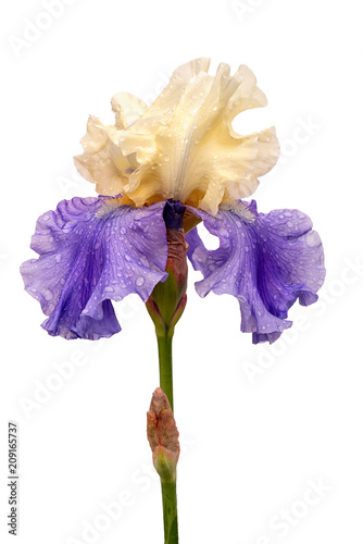 wet blue and yellow iris flower isolated on white background
