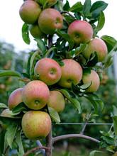 Apples On A Apple Tree