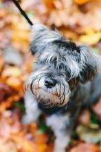 Cute Scrappy Dog On Leash
