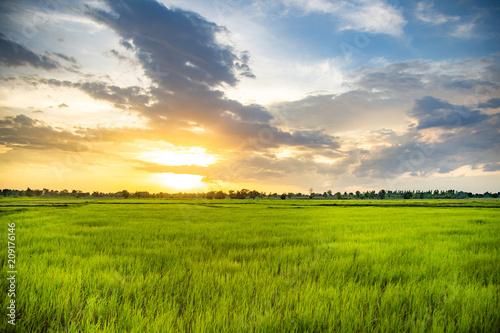 Foto auf AluDibond Beige Green fields Full of rice.