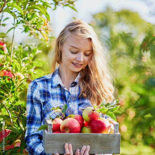 Obraz na płótnie Woman picking apples in orchard or on farm