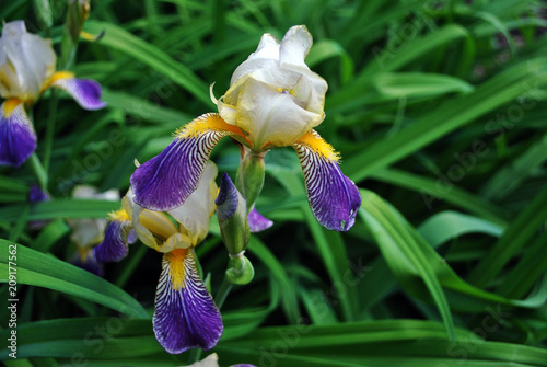 Foto op Plexiglas Iris Purple, white and yellow iris flower blooming, blurry green leaves background