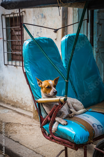 Fotografie, Obraz  HABANA, CUBA-JANUARY 13: Cuban dog on January 13, 2018 in Habana, Cuba