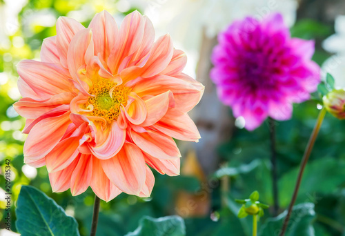 Deurstickers Dahlia Beautiful of Orange Garden Dahlia flower blossom in the park (Dahlia hybrid, Compositae)