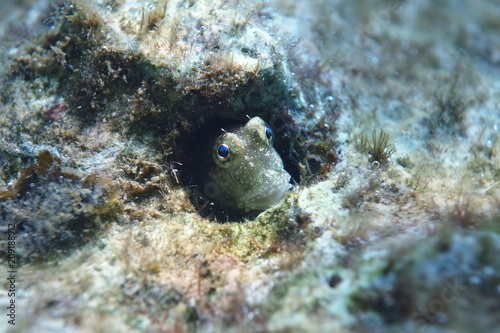 Poster Coral reefs Triplespot blenny, Neiafu, Vavau, Tonga