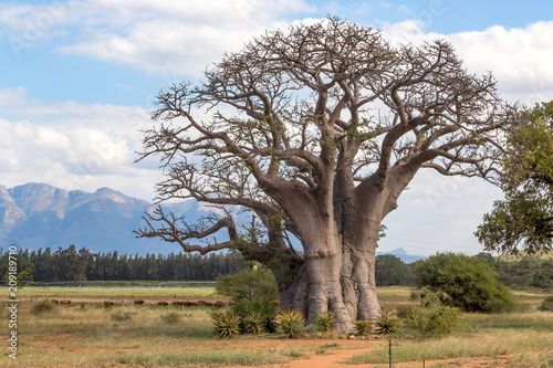 Baobab tree with mountain view in background.