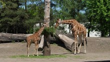 Zoo, Baby And Mother Of Giraffes Stand Near The Trough And Chew Green Food