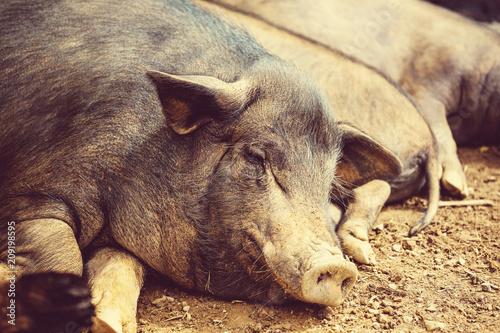 Foto op Canvas Asia land Vietnamese pig