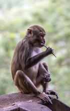Myanmar, Mandalay Area, Macaque On Mount Popa Buddhist Site