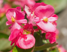 Blossoms Of Begonia Semperflorens From Close-up