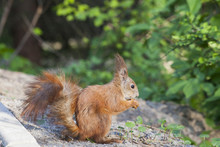 Eurasian Red Squirrel In Forest Eating Nut